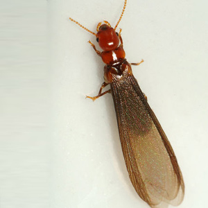 Termite with Wings
